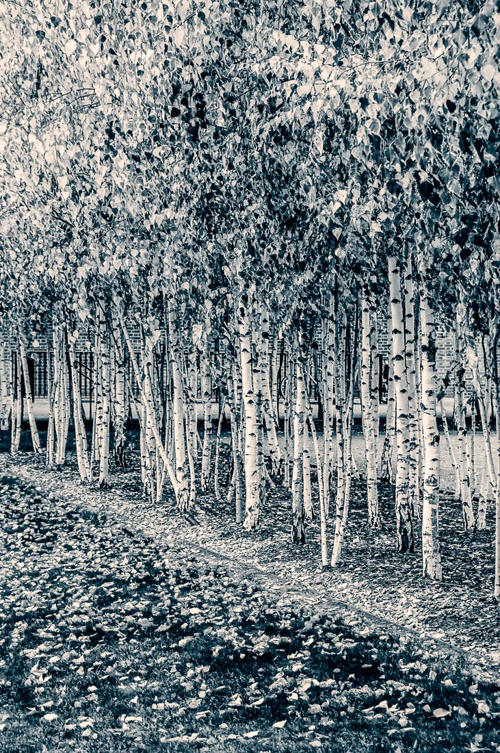 Toned art print of silver birch trees
